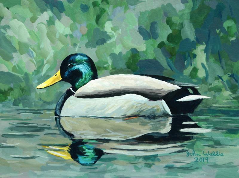 jw_mallard_duck_new800